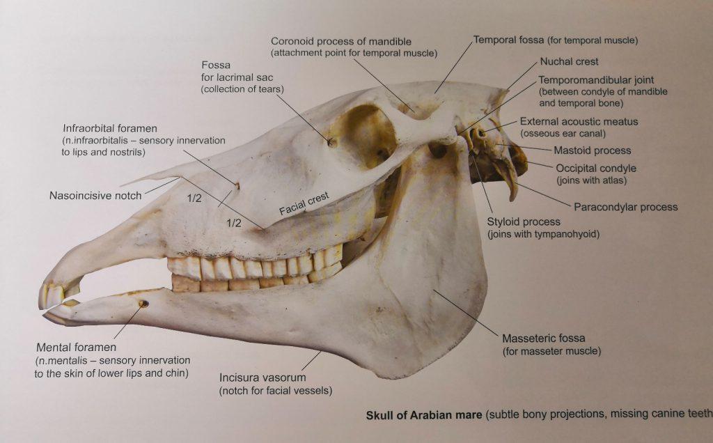 Hevosen pään hermotus